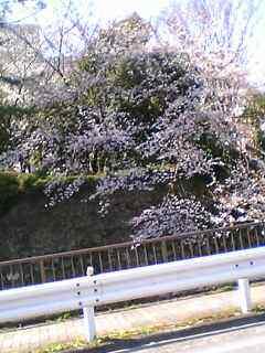駿府城跡の満開の桜