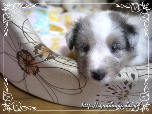 シェルティ子犬
