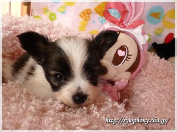 パピヨン子犬
