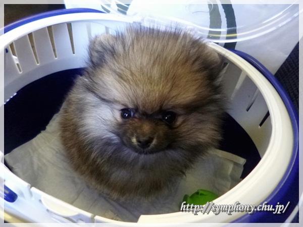 ポメラニアン子犬ー麟太郎君