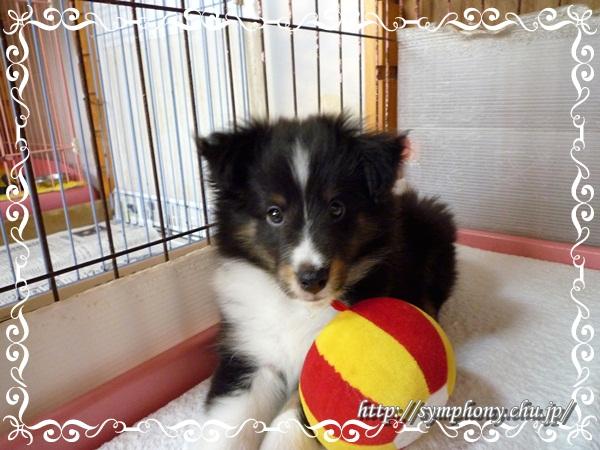 シェルティ子犬ーおーりんちゃん