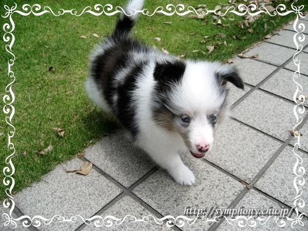 シェルティ子犬ーレディちゃん