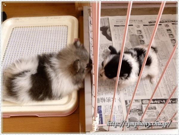 ポメラニアン子犬&パピヨン子犬
