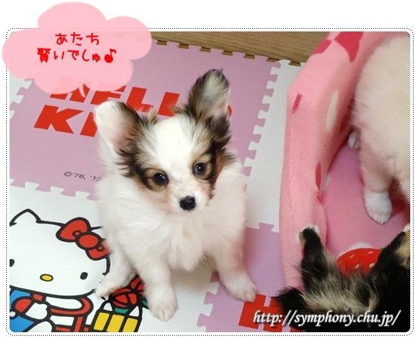 パピヨン子犬ーキティちゃん