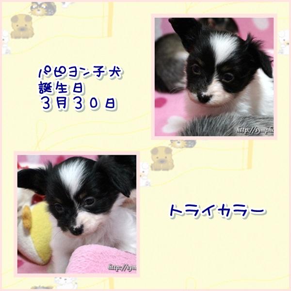 パピヨン子犬ー男の子