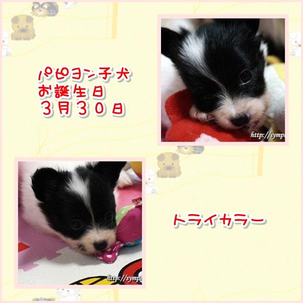 パピヨン子犬−女の子