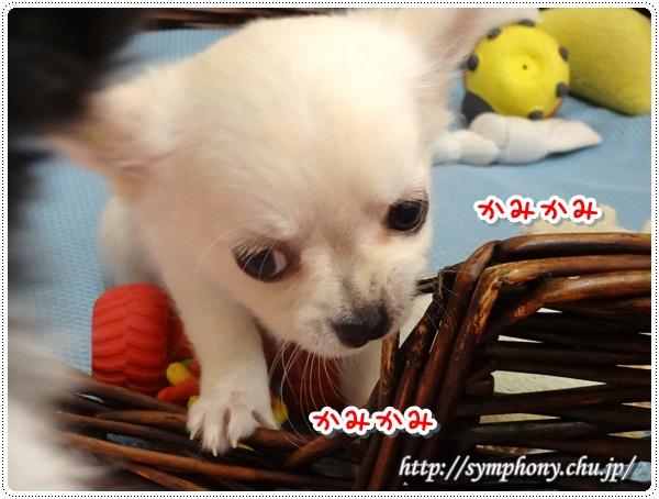 チワワ子犬−クリームF