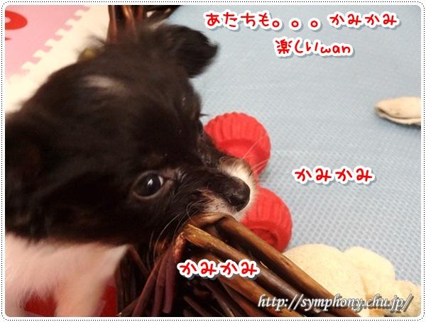 パピヨン子犬ー杏ちゃん
