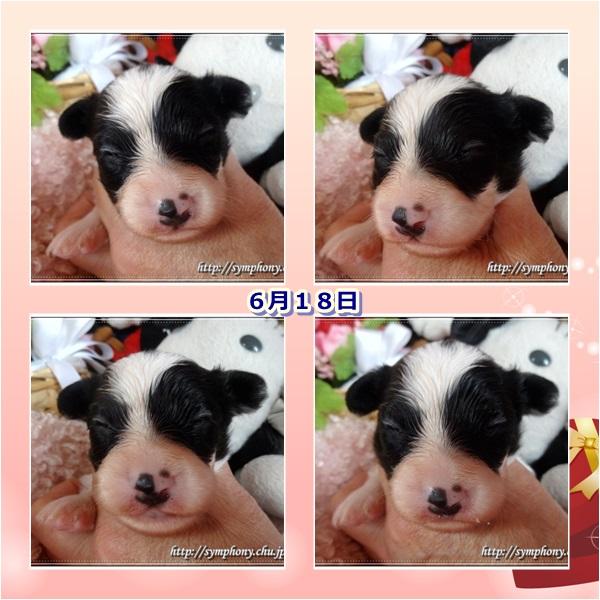 パピヨン子犬ー1