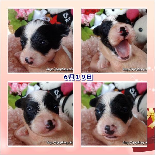 パピヨン子犬ー2