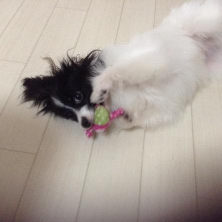 パピヨン子犬—福ちゃん