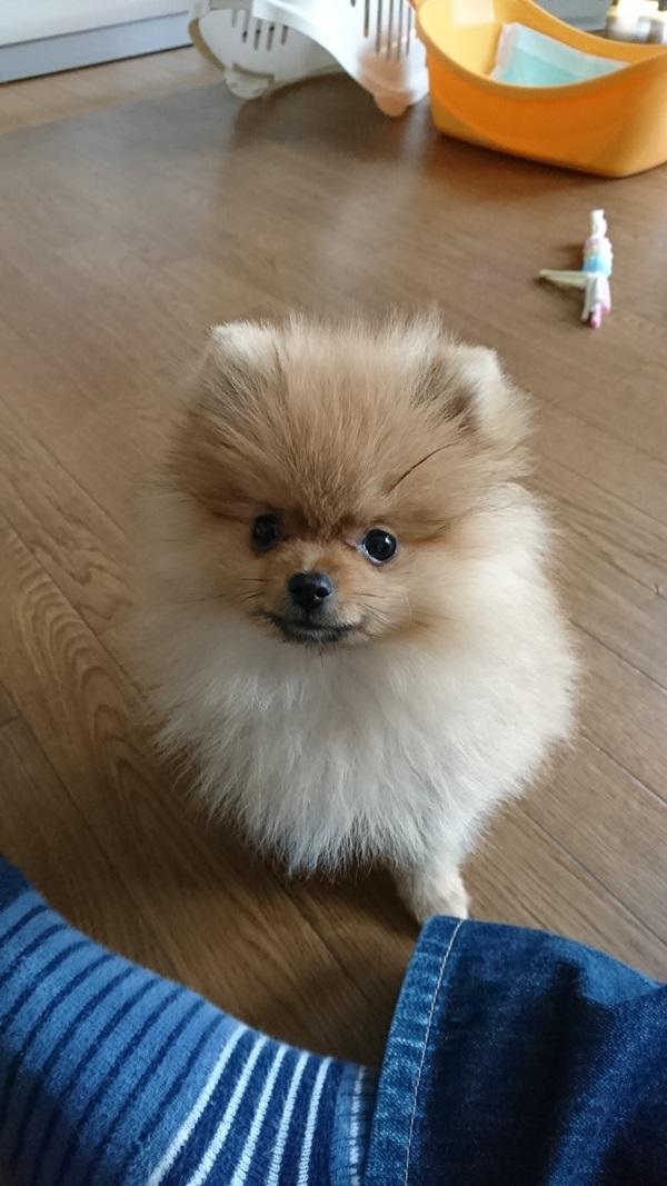 ポメラニアン子犬—むぎ太君