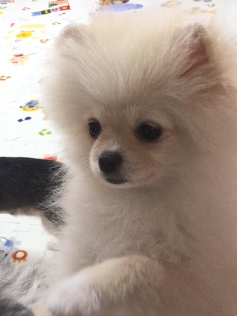 ポメラニアン子犬ーじゅりちゃん