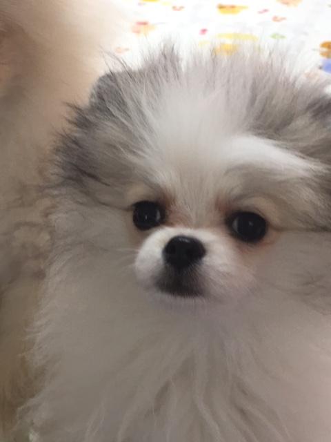 ポメラニアン子犬ーにこちゃん