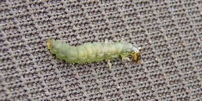 トビケラ幼虫