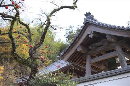 光明禅寺前の柿の木