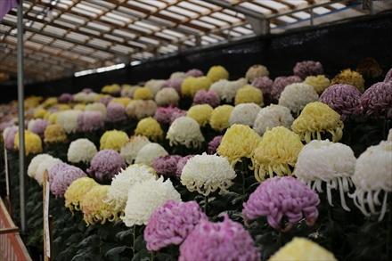 太宰府天満宮の菊花展