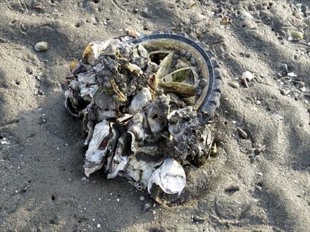 ゴミにつく貝
