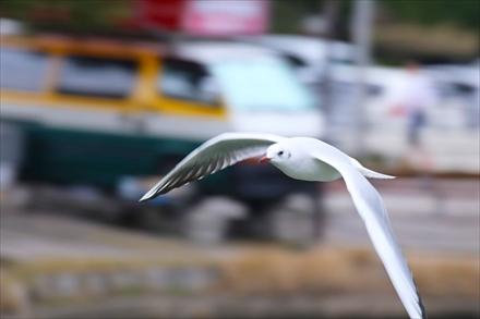 飛ぶユリカモメ