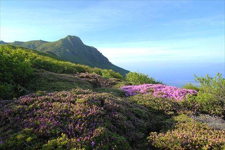 大船山のミヤマキリシマ(咲き始め)