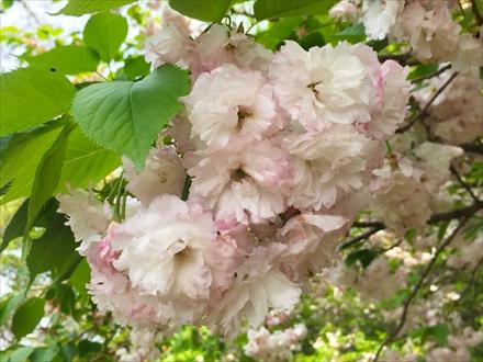 立花山山頂の桜