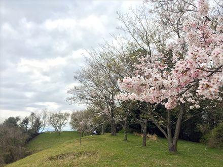 目配山の桜