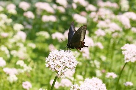カノコソウにとまる蝶