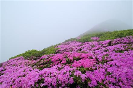 北大船山のミヤマキリシマ