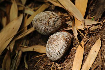 キヌガサタケの卵