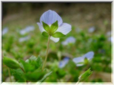 空色の小花