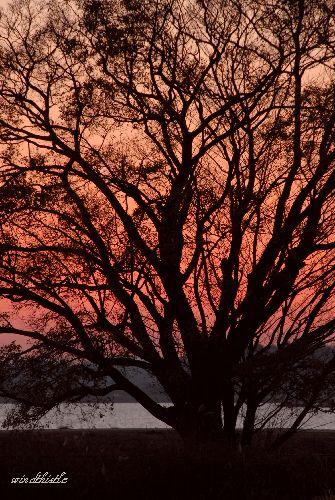 夕暮れの一本の樹