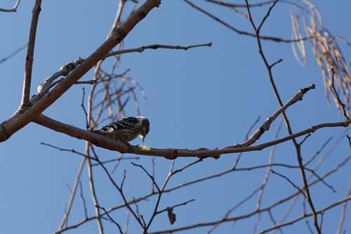 小さな啄木鳥さん