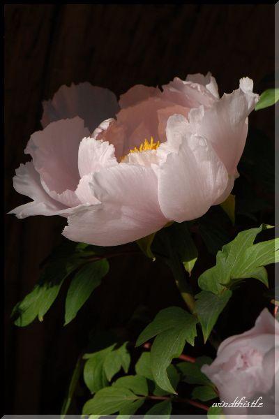 冬牡丹 平成桜