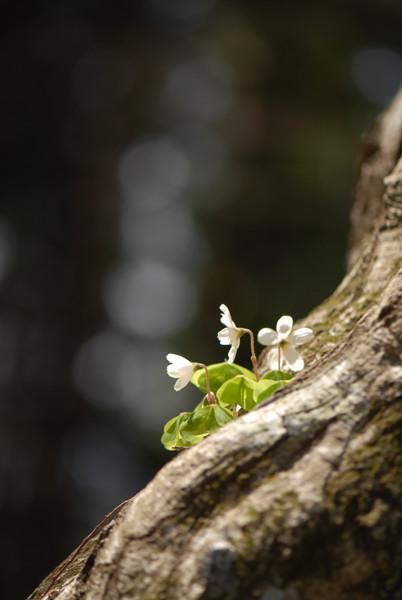 樹に咲くミヤマカタバミ