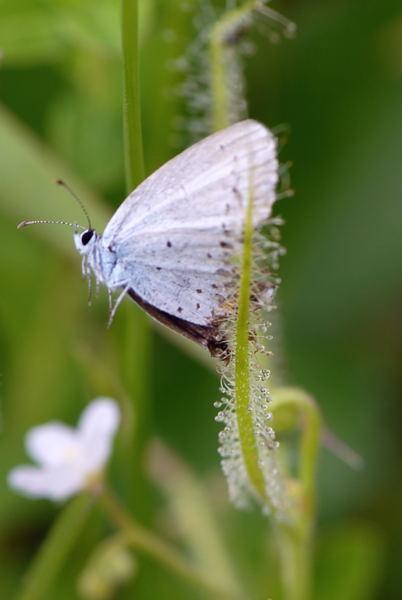 ナガバノイシモチソウに蝶が・・・