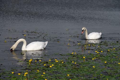アサザと白鳥�
