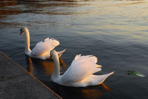 仲良く泳ぐ白鳥