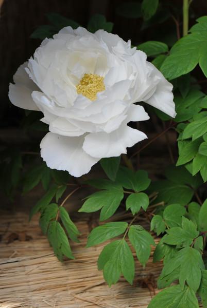 純白の冬牡丹