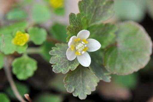 小さい白い花・・・何だろう