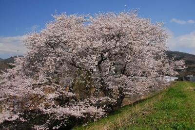 夫婦桜とでも・・・