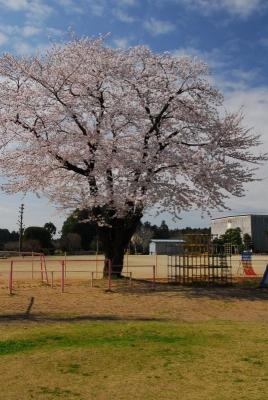 学び舎の桜