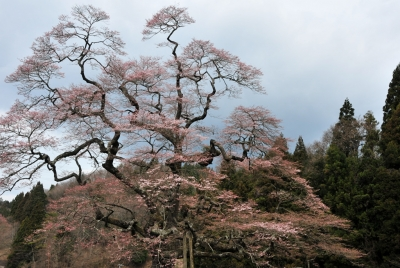 二段田のひがん桜