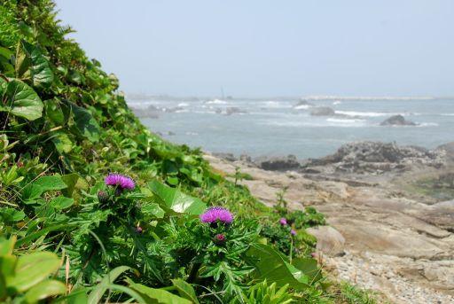 海岸に咲くアザミ