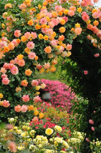 見事な薔薇のアーチ