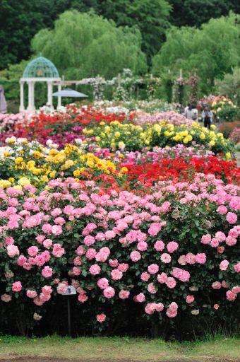 薔薇でうめつくされた園内