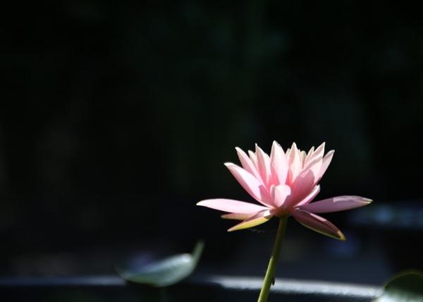 蓮の花2_RR.jpg