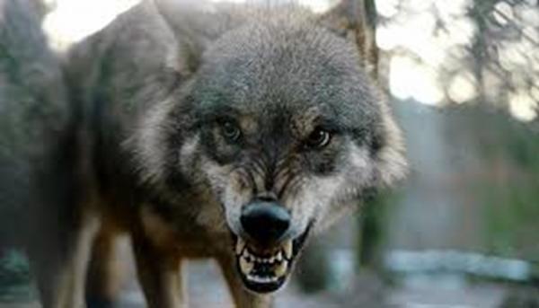 Resize_狼の群れと暮らした男(狼)2.jpg
