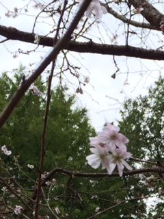 10月桜.jpg