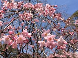 六義園桜.JPG