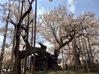 宇宙桜.jpg